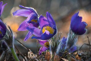 02 Через несколько дней её цветы радуют глаз то нежные оттенки голубого, то насыщенным синим цветом, то маджентой