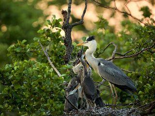 цапля прилетела в гнездо на ольхе чтобы кормить своих птенцов