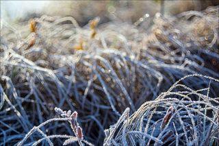 Заиндевелые травы на заболоченом берегу
