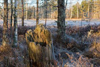 Старый пень на болоте, или оттенки посеребрённой меди.