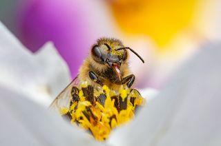 Весёлая пчёлка. Фото одним кадром со штатива. f22 ISO 500 1/200
