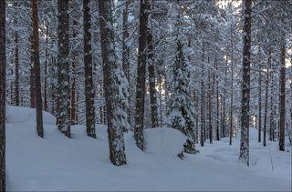 В сосновом лесу на восходе