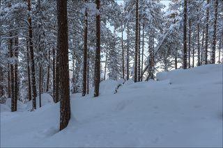 Холодное утро в сосновом лесу
