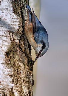 Поползень на дереве.