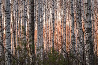 01Весна, наверно, лучшее время, чтобы понаблюдать за глубинами леса. Света уже много, а листвы еще нет и березовые рощи стоят прозрачные…