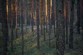 02Сосновые леса без листьев подлеска позволяют заглянуть в себя гораздо дальше, …