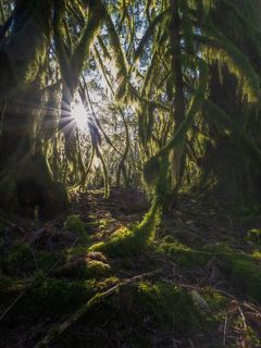 Утренние лучи проникают через густые лапо-подобные ветви