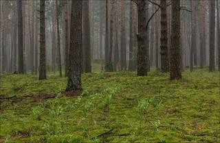 Туманное утро в старом сосновом лесу