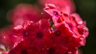 Красные Флоксы на солнце