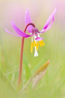 Цветок кандыка в траве