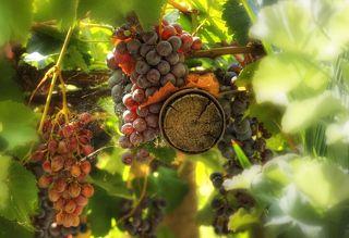 Зрелый виноград