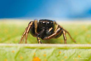 Один из самых маленьких пауков скакунчиков. Размер 3 миллиметра.  С очень интересным окрасом как для такого малыша. С желтыми полосами по всей длине ног спереди и сзади, и даже на педипальпах. Сверху металлически блестящий с зеленоватым оттенком.
