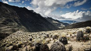Венесуэла. Кактусы (хотя вроде это и не кактусы) эти растут очень медленно, многим более 100 лет