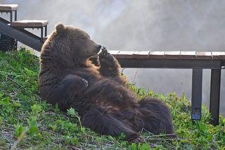 Медведь в Долине гейзеров. Мишка прилег отдохнуть возле пешеходной тропы в Долине Гейзеров Кроноцкого заповедника на Камчатке