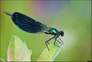Красотка-девушка (Calopteryx virgo)
