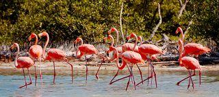 Фламинго (Рио Лагартос, Мексиканский залив)