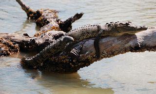 Центральноамериканский крокодил  (Рио Лагартос, Мексиканский залив)