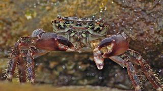 Крабик, поедающий другого крабика
