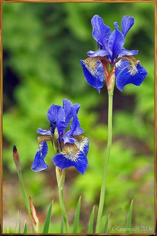 Цветы, Ирисы Яркие краски ушедшего летаphoto preview