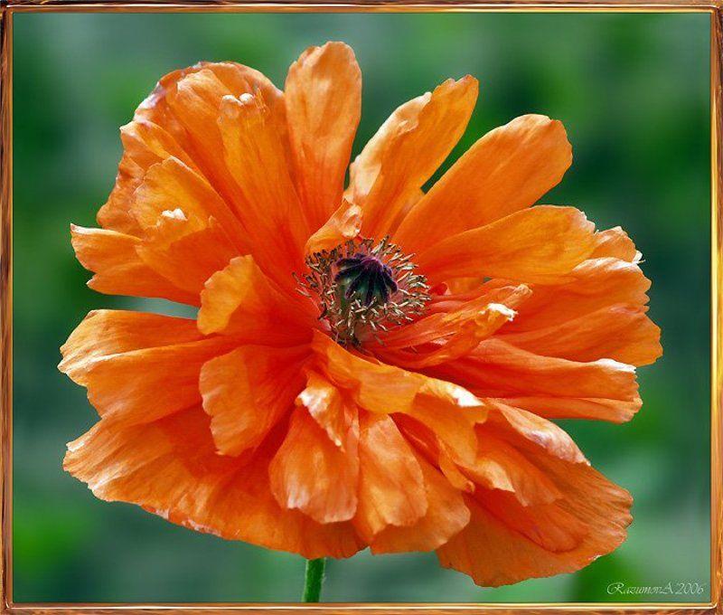 Мак, цветок, Морфей Подарок из сада Морфеяphoto preview