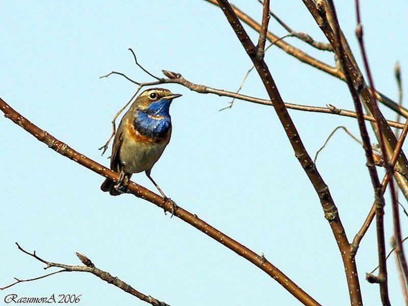 Птица, варакушка, соловей Варакушкаphoto preview
