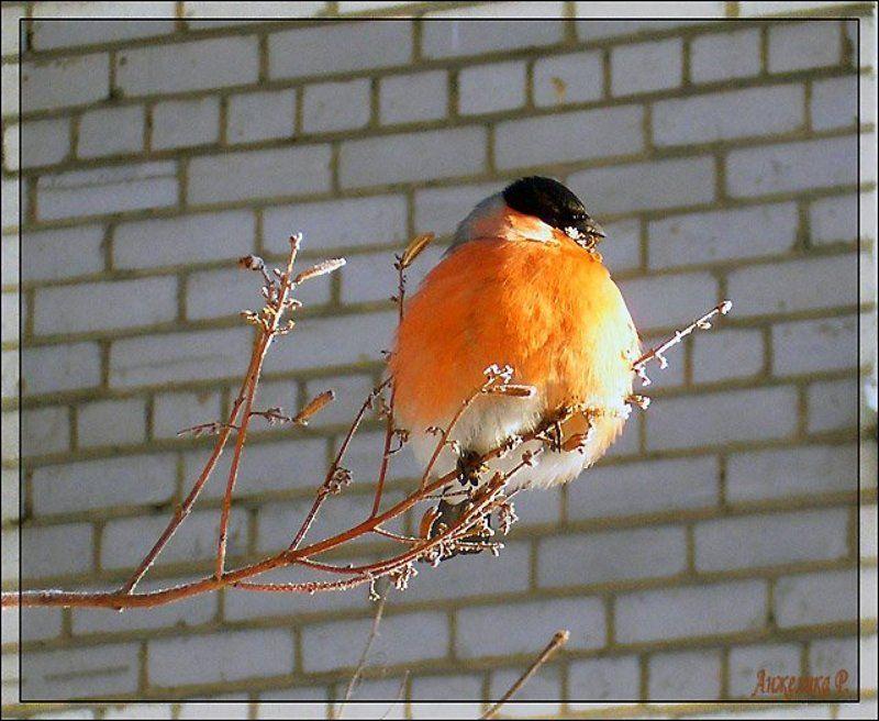 Снегирь, птица, шарик, апельсин Ещё один шарик на веточкеphoto preview