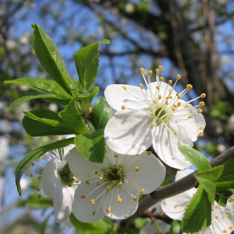 Вишня, Весна Букетикphoto preview