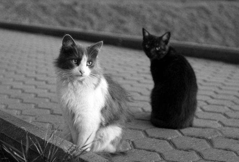 кот, кошка, ч/б кошка, которая гуляет  \