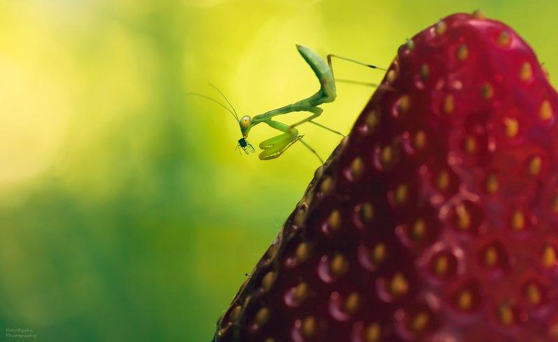 макро, природа, клубника, растения, богомол, насекомые, лето, боке, macro, nature, strawberries, plants, mantis, insects, summer, bokeh, Охота в клубничных горахphoto preview
