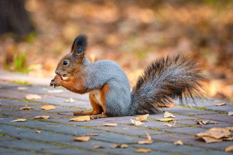 squirell, autumn, outddor, wild, wildlife, белки, осень Осенние хлопотыphoto preview