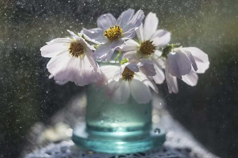 крупный план. космея,капли, дождь, солнце Космея и капли....photo preview