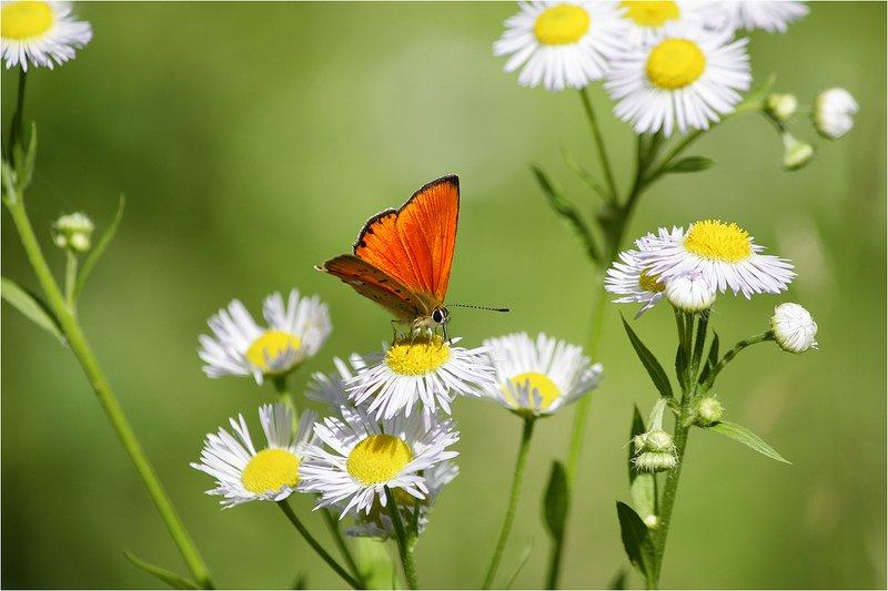 бабочка, червонец, многоглазка Червонецphoto preview