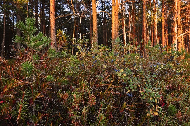 пейзаж, лес, озеро, вечер, природа,россия,псковская обл, сентябрь, Сентябрьский вечер на озере.photo preview