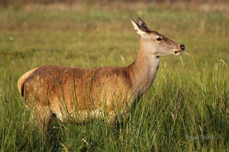 природа, поле, трава, олень За обедомphoto preview