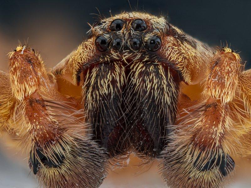 паук, насекомое, макро, супермакро, macro, photo Портрет паука.photo preview