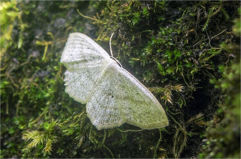 бабочка, пяденица бледная ***photo preview