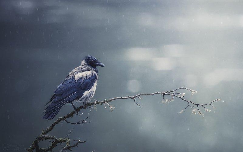 ворон дождь хокку Хокку с дождём...photo preview