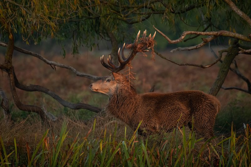 red deer, stag, animals,  nature, wildlife, early morning light, canon, Red Deer Stagphoto preview