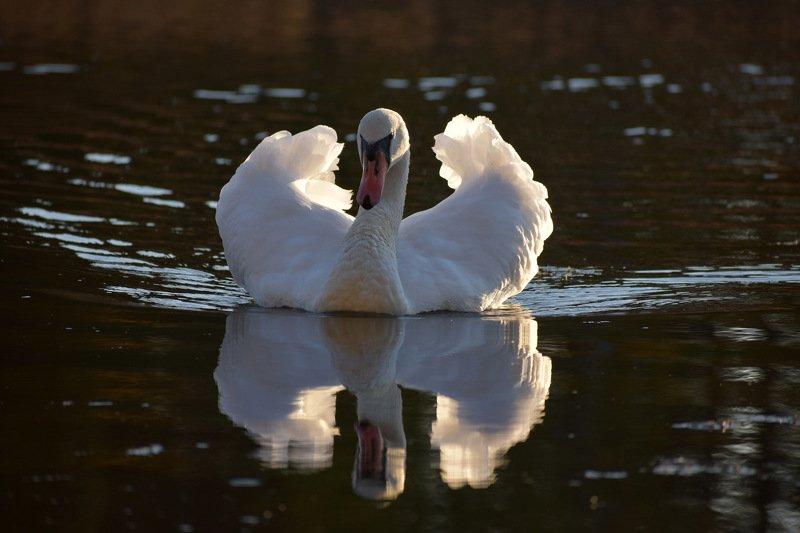 Лебедь-шипунphoto preview