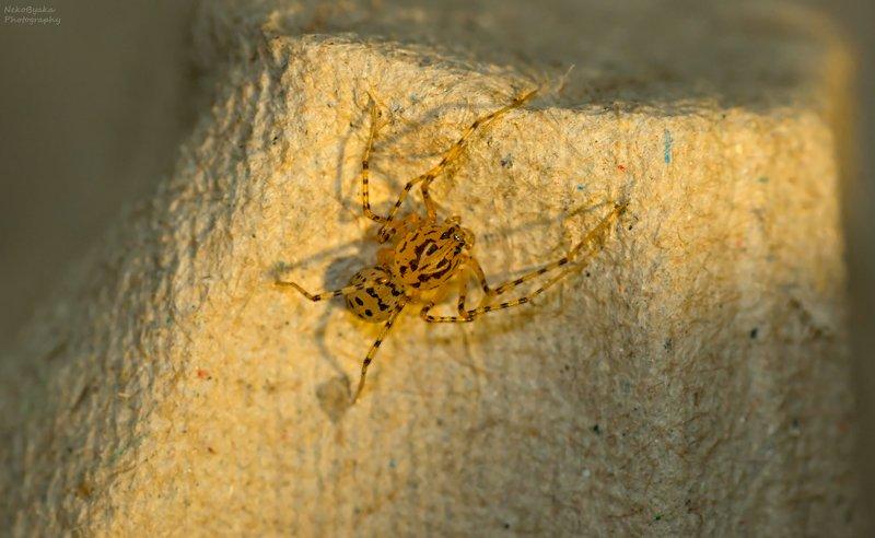 макро, пауки, природа, macro, spiders, nature, Паук-плевакаphoto preview