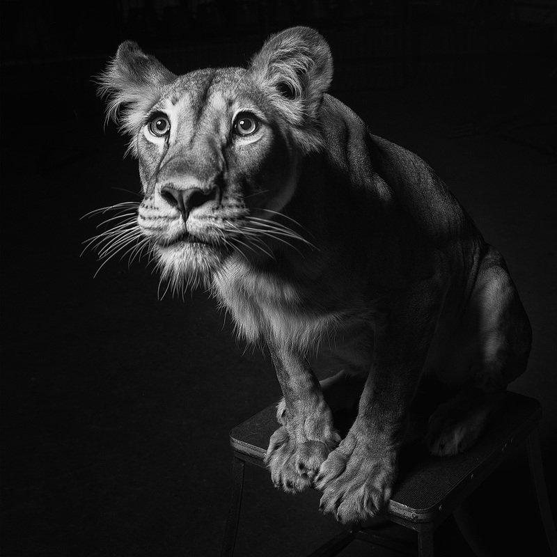 лев, львица, чб, животны в неволе Лилиphoto preview