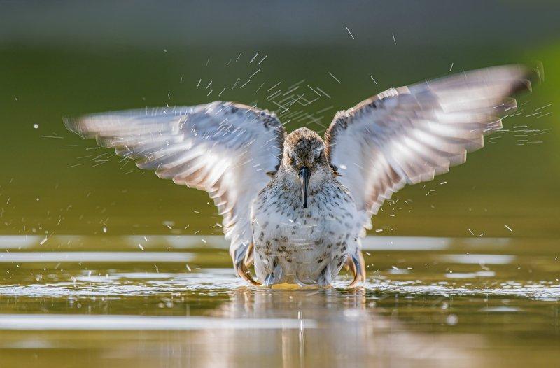 птицы,природа, осень Чернозобик купаетсяphoto preview