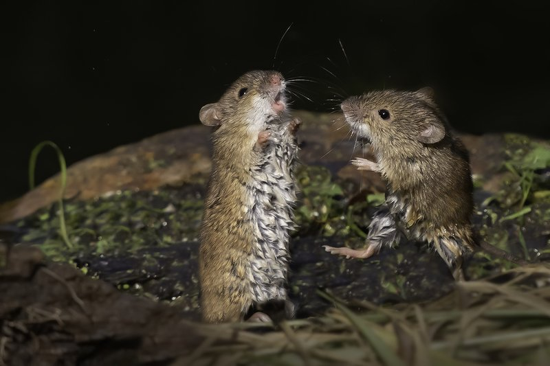мышки, драка, лес На рингеphoto preview