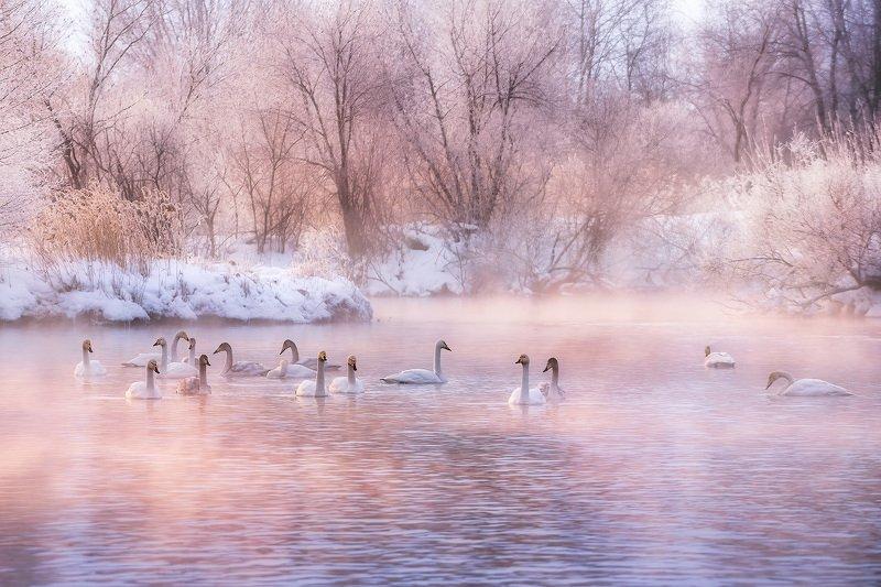 рассвет, озеро, туман, лебеди, sunrise, lake, foggy, misty, swans, swanlake Краски морозного утраphoto preview