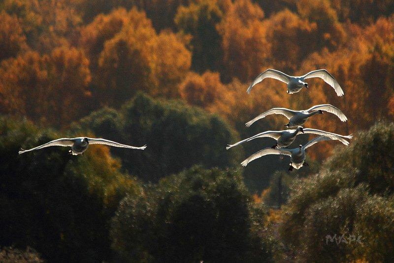 животные птицы лебеди шипуны озеро кандры-куль башкирия Лебеди Кандры-Куляphoto preview