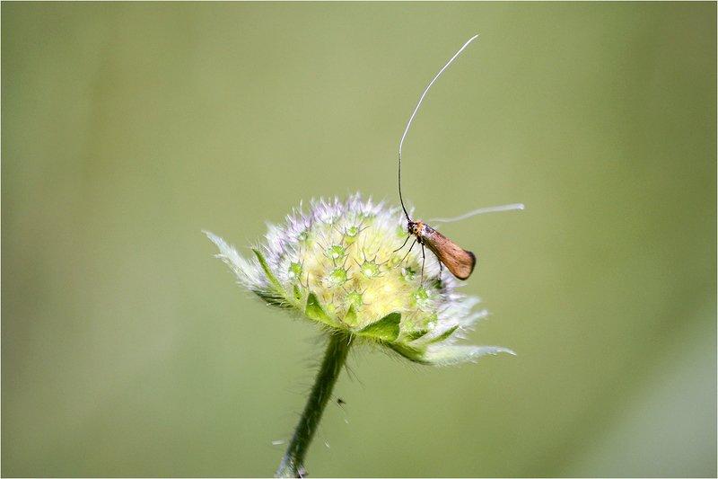 длинноуска крупноглазая, моль, nemophora metallica Длинноуска крупноглазаяphoto preview