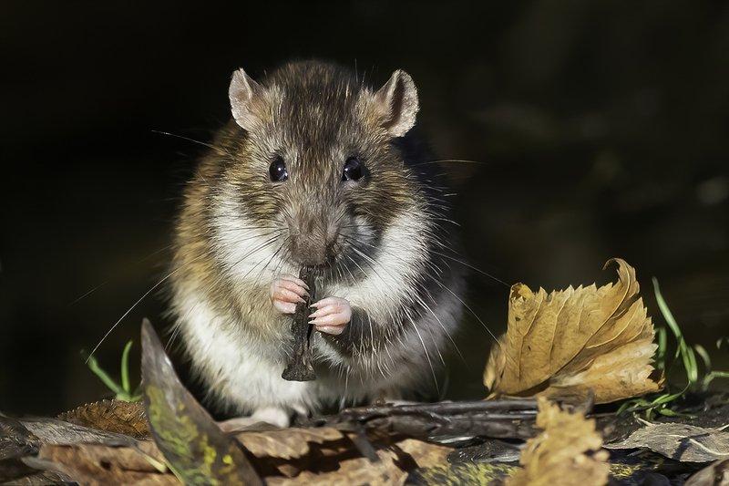 крыса, осень, лес Уличный музыкантphoto preview