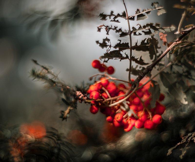 природа, макро, растения, ягоды, рябина, гелиос Рябиновая наливкаphoto preview
