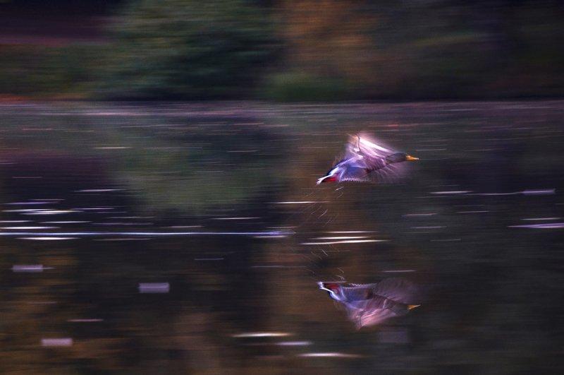 утка, птицы, природа, полет, осень, вода Утиный полетphoto preview