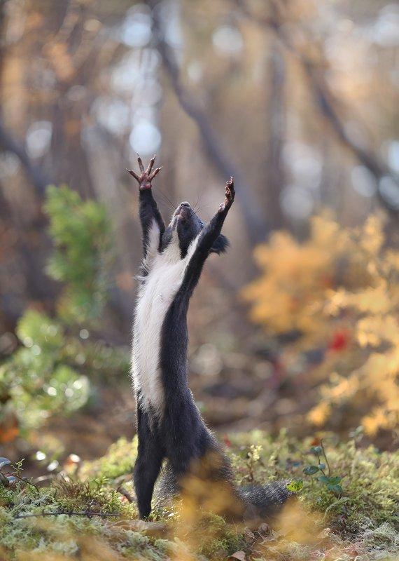 нерюнгри, белка, якутия, дикие_животные, осень Осенний дирижерphoto preview